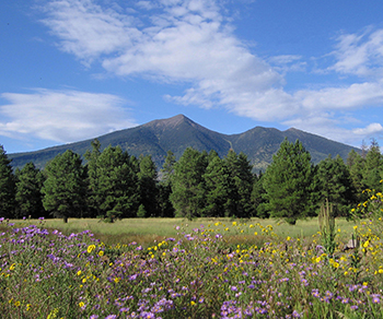 Wild flowers and evergreen trees against the backdrop of the San Francisco Peaks on a sunny day